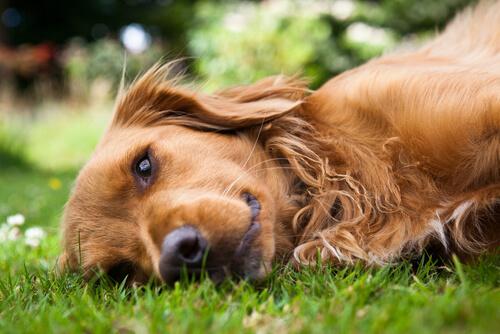 Conoce el síndrome de la piel sin elasticidad en los perros