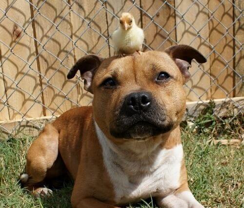 amistad-entre-pitbull-y-pollitos-3