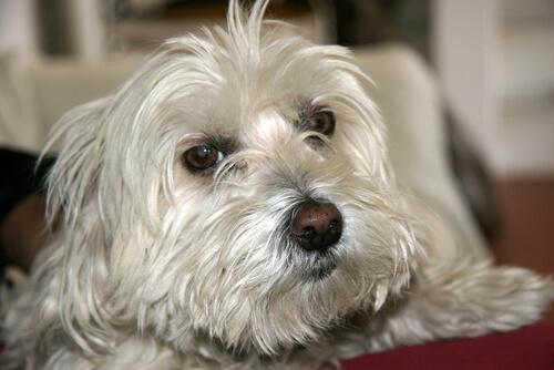Cómo calmar la tos en los perros