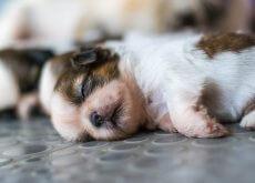 cuantos-cachorros-puede-tener-un-perro