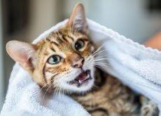 dientes-de-tu-gato