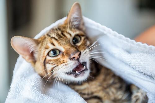 Gato mostrando sus dientes