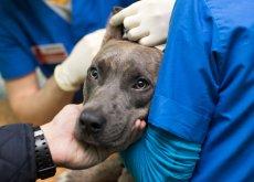 donacion-de-sangre-en-perros
