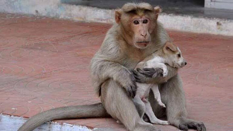 El mono que cuida de perros