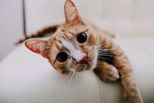 gatos parasitos pulmonares