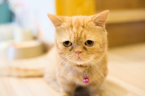 Conoce a los gatitos Munchkin que son cachorros para siempre
