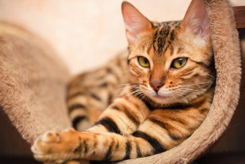 Bengala, una peculiar raza de gatos