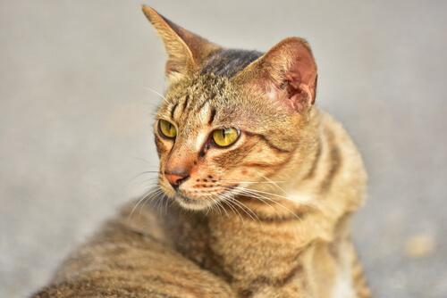 A tabby cat.