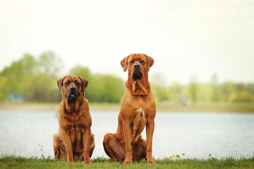 los-perros-mas-grandes-del-mundo