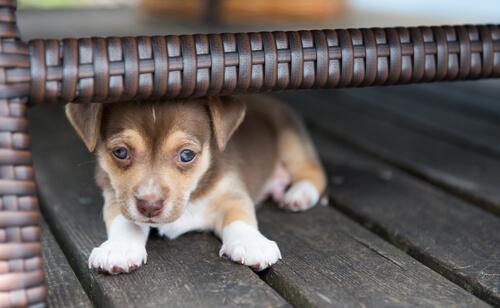 Perro con miedo debajo de una silla