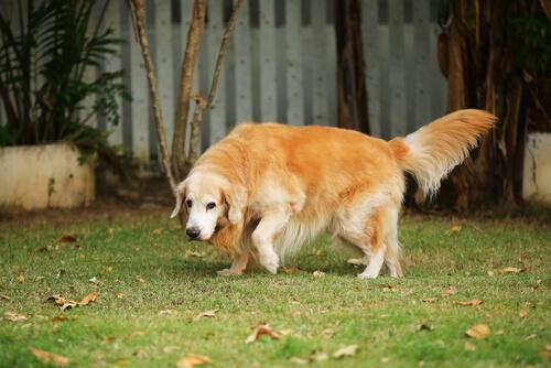 perro-con-artritis