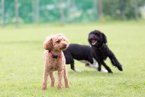 ¿Pueden los perros tener diabetes?