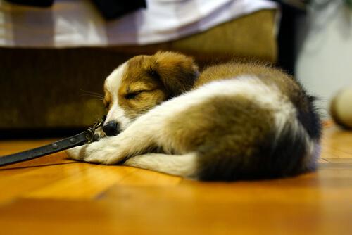 En Arabia Saudita no dan pena de muerte por tener un perro en casa