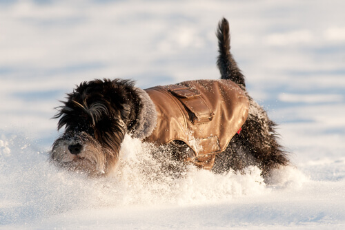 A schnauzer in the snow.