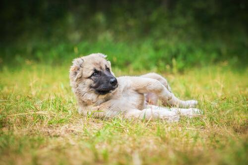 perros-les-encanta-revolcarse