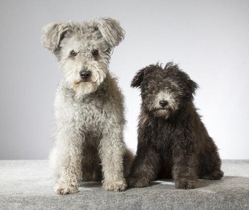 Pumi, una nueva raza de perros