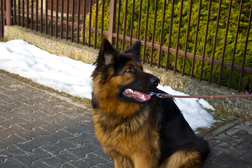 Perro pastor aleman de paseo