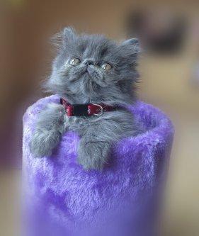 Gatito persa mirando a la cámara