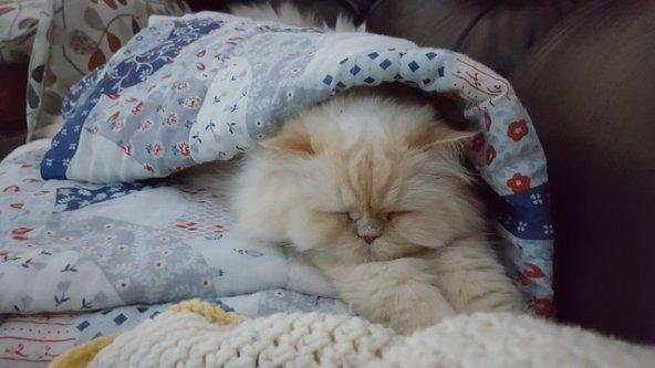Gato persa en sofa