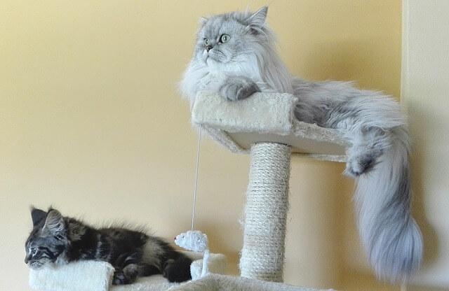 Gatos persa descansando