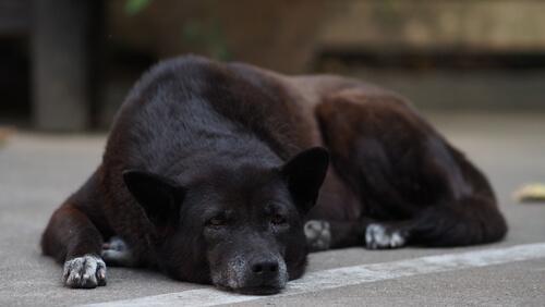 Perros mayores y Síndrome de Disfunción Cognitiva