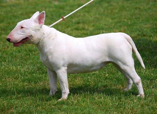 Bull terrier con cadena.