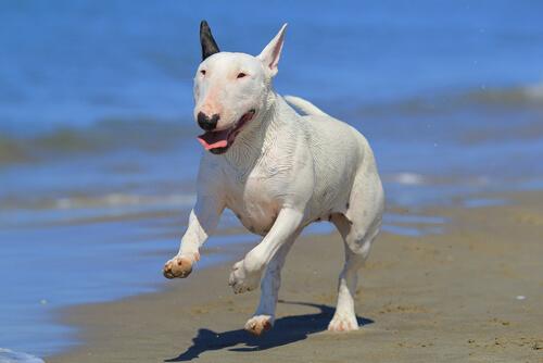 El bull terrier: ¿realmente lo sabes todo sobre esta raza?