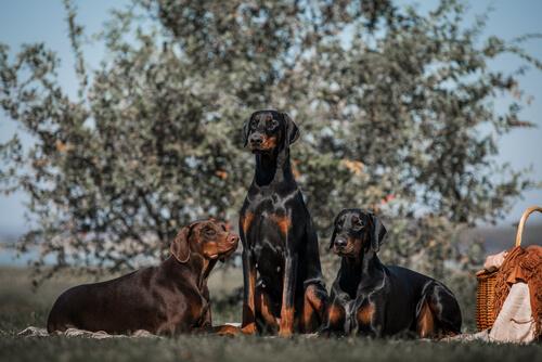 Perros doberman en el campo