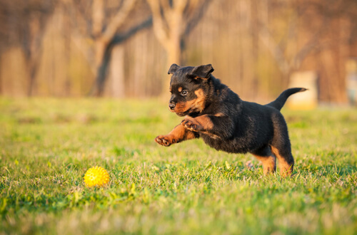 Rottweiler: descubre el carácter de este perro