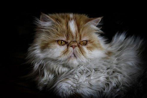 Rostro de un gato persa