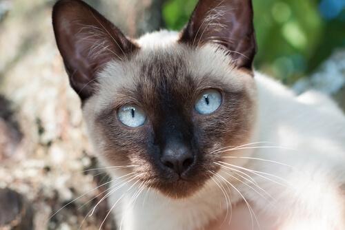 Gatos siameses, elegancia gatuna