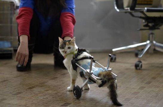 patas-bionicas-para-gatos-discapacitados-2