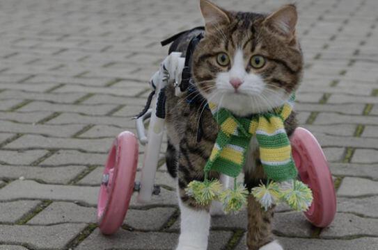 patas-bionicas-para-gatos-discapacitados-3