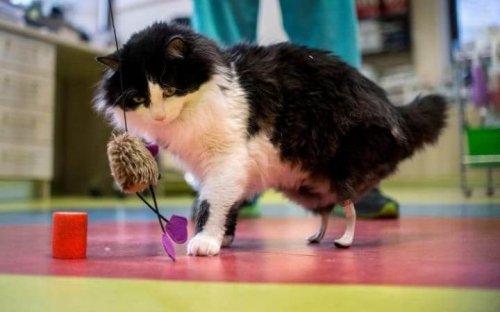 Patas biónicas implantadas a gatos discapacitados