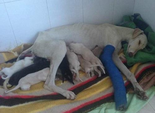 Una perrita recorre 3 km para salvar sus bebés a pesar de tener una pata rota