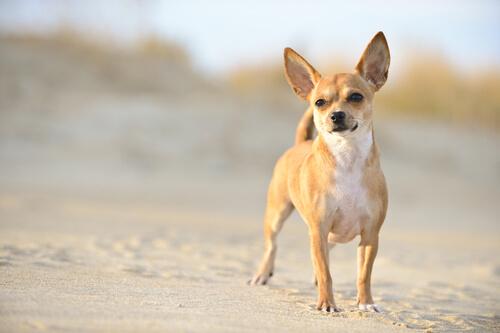 cães-chihuahua