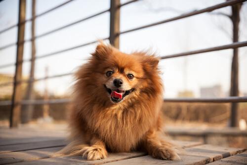 Existen diferentes razas de perros pequeños.