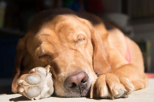 Tu perro adopta posturas diferentes para dormir según la situación