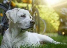 Quimioterapia en perros