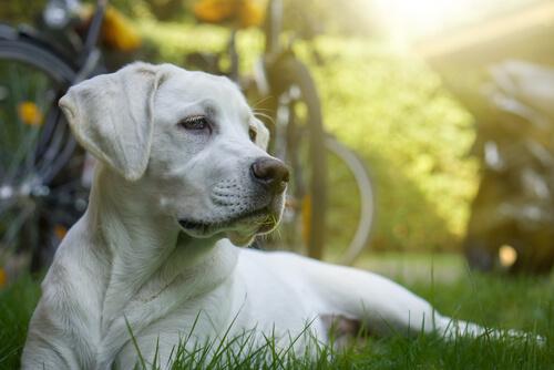 La quimioterapia en perros, ¿es posible?