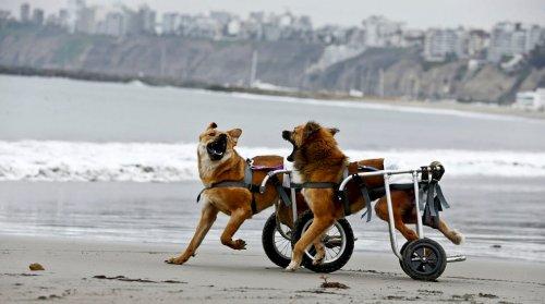 Perú abre un refugio para perros discapacitados