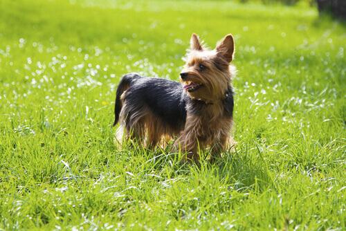 El Yorkshire Terrier es un perfecto animal de compañía tanto para niños como para ancianos