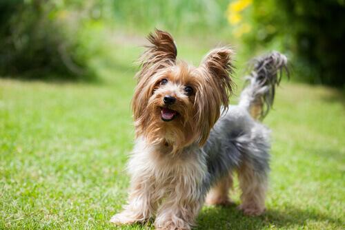 Yorkshire Terrier: un perro pequeño con gran carácter
