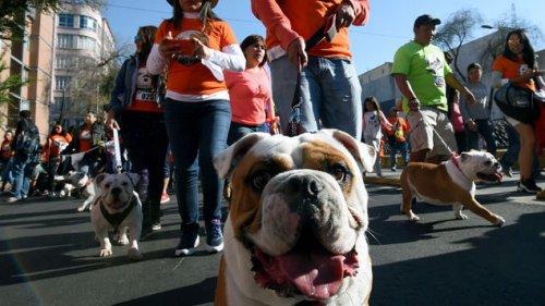 Cientos de bulldogs desfilan en busca de récord