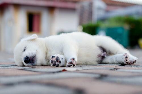 Cómo duerme tu perro
