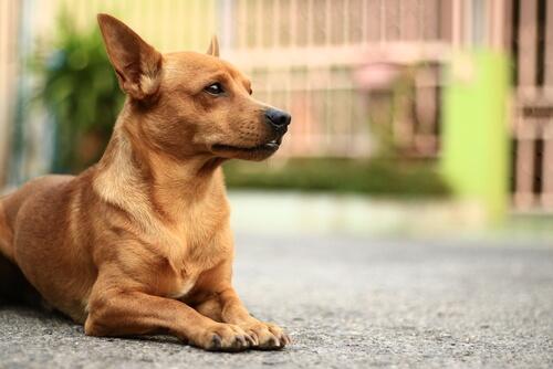 ¿Los granos afectan las infecciones por hongos en perros con piel?