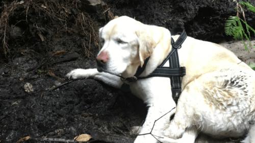 Una labradora ciega sobrevive una semana en el bosque