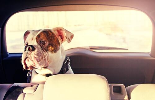 Como evitar los mareos de tu perro en el coche
