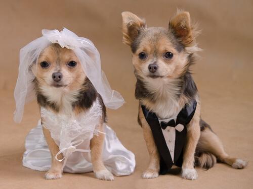 Un matrimonio entre perros