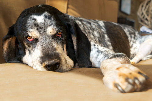 Cómo puedes saber si tu perro tiene fiebre